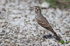 African Pipit (leendert3) Tags: leonmolenaar wildlife southafrica krugernationalpark nature bird africanpipit ngc coth5