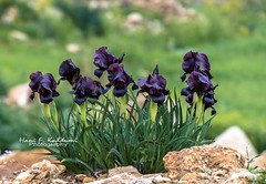 Black beauty (Hani Kaddumi) Tags: black iris jordan nikon d7200 tamron 1603000 mm f3563 countryside spring wildflowers