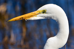 Great_Egret_02 (DonBantumPhotography.com) Tags: wildlife nature animals birds donbantumcom donbantumphotographycom white whitebird greategret waterfowl