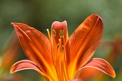 Orange lily (Manoo Mistry) Tags: orangelily lily anthers nikon nikond5500 tamron tamron18270mmzoomlens flower garden parks lilium hemerocallis