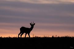 Brocard du soir (Richard Holding) Tags: animal chevreuil contrejour crepuscule deer eure evening m43 nature normandie olympus omd roe roedeer silhouette twilight wildlife