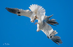 White-Tailed Kite Food Exchange (Thy Photography) Tags: birdofprey prey raptor foodexchange whitetailedkite wildlife animal nature outdoor backyard california bird sunrise sunset dawn dusk sunshine thyphotography