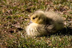 Sweety (RGaenssler) Tags: entenvögel gänse kanadagans vögel echtegänse meergänse wirbeltiere tiere floraundfauna anatidae anseriformes anserinae anserini aves branta brantacanadensis canadagoose gänsevögel
