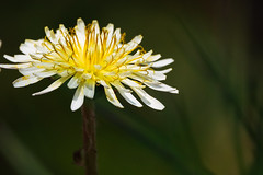 _DSC8251-Edit (shoji imamura) Tags: spring flower dandelion yellow japan tokyo machida yakushiike 春 町田 東京 薬師池 薬師池公園 タンポポ 花 野草