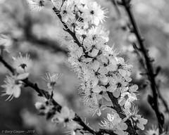 Blossom (B&W) - week 12 of 52 (barrycooper242) Tags: broadway england unitedkingdom gb