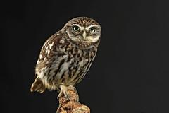 Little Owl - Athene noctua (Roger Wasley) Tags: littleowl athenenoctua bird captive birdofprey owls specanimal natureinfocusgroup