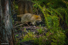 Florida Swamp Citizen (John Piekos) Tags: corkscrewswampsanctuary wildliferefuge wetlands wildlife animal wildanimal woods raccoon marsh naples corkscrew vacation merrimackcollege audubon florida