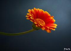 Sometimes We Need a Little Magic... (Don's Photostream) Tags: flower blue daisy don magic light