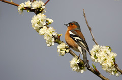 Chaffinch in blossom. (Chris Kilpatrick) Tags: chris canon canon7dmk2 sigma150mm600mm sigma outdoor wildlife nature animal bird signsofspring springwatch douglas isleofman blossom tree chaffinch
