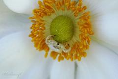 Waiting for Dinner (blackcatcraft) Tags: macro mygarden crabspider waitingfordinner spider anemone