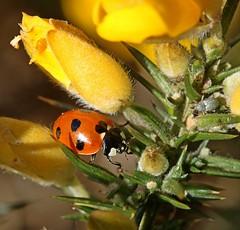 7 Spot Ladybird (Sybalan,) Tags: toward cowal coastal argyll arachnids lichen ladybird insects gorse scotland sunny summer canon 760d 100mmmacrolens macro march nature wildlife westcoast seashore shieldbug arachnoid yellow red green