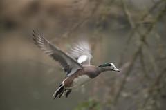 Short trip (woodwindfarm) Tags: sundaylights bif birdinflight americanwigeon commonwealthlake