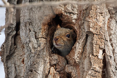 Squirrel (grafxbylisa) Tags: grafxbylisa calgary calgaryphotographer canont2i canadianphotographer sigmacontemporary sigmalens squirrel squirrels treesquirrel easterngreysquirrel inglewoodbirdsanctuary smallanimal urbanwildlife nature