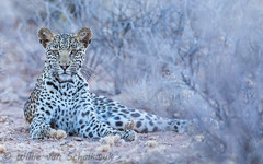 Young leopardess (Willievs) Tags: mbali kgalagadi wildlife batulama pantherapardus leopard luiperd