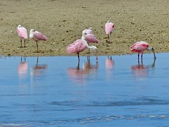 Spoonbills at the Beach (WRFred) Tags: florida nature wildlife bird spoonbill dingdarlingnwr sanibel