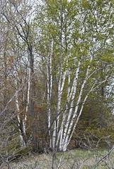 Betula papyrifera (White Birch) -- Betulaceae (Michael Huft) Tags: angiosperm betula betulapapyrifera betulaceae dicots plants