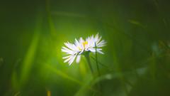 Daisy (Dhina A) Tags: sony a7rii ilce7rm2 a7r2 a7r kodak ektanar c 102mm f28 projection projector lens kodakektanar102mmf28 vintage bokeh smooth soft bubble manualfocus daisy flower