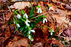 Snow drops. (arsenaultj66) Tags: snowdrops flowers spring