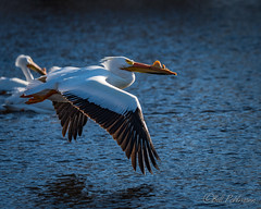 20190408-DSC_7245.jpg (GrandView Virtual, LLC - Bill Pohlmann) Tags: bird americanwhitepelican wisconsin wildlife waterfowl stcroixriver northhudsonwi
