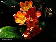 clivia 014 (adioslunitaadios) Tags: plantasyflores flores clivia airelibre fujifilm