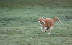 the old boy can still hustle (Judecat (HOME AGAIN!)) Tags: cat feline redtabby catrunning leo