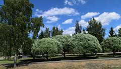 Terijoen salava (nousku) Tags: sysmä suomi finland tamron flowerstrees urban
