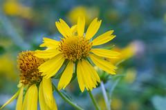 Yellow Flower (davidhewett1964) Tags: texas yellow yellowflower outdoors outside