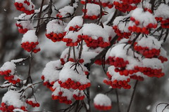 Snow covered fruit on an Ash Tree (jlcummins) Tags: snow winter fruit berries tree ashtree rowantree