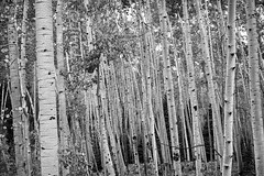 Aspens on Owl Crek (Jim Johnston (OKC)) Tags: aspens owlcreekpassroad trees sanjuanmountains colorado bw