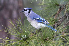 Blue jay (f.tyrrell717) Tags: blue jay bird jersy pine barrens
