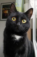 Good morning my Schnuggi... (Beckerhenning) Tags: cat cats kitten black huawei mate10 mate 10 pro window morning animals schnuggi smartphone cellphone