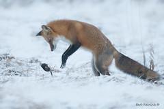 Tenderizing (Earl Reinink) Tags: fox mole easterredfox esternstarnosedmole winter snow nature wildlife outdoors field earlreinink earl reinink diudzaadea