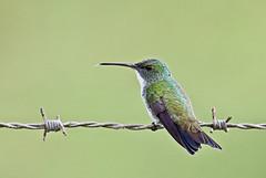 Amazilia leucogaster (mazama973) Tags: bird oiseau frenchguiana guyane guyanefrançaise trochilidae amazilialeucogaster arianevertdoré plainbelliedemerald