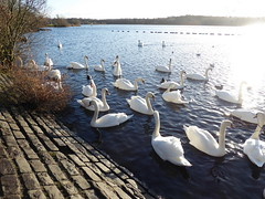 Swans at Drumpellier Country Park (luckypenguin) Tags: scotland northlanarkshire coatbridge drumpelliercountrypark