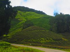 Mor Tea Plantage (pgfah) Tags: cameronhighlands teaplantage malaysias tea