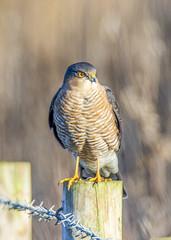 sparrowhawk crop (alderson.yvonne) Tags: sparrowhawk perched post rspb saltholme yvonne yvonnealderson