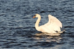 IMG_2465 (LezFoto) Tags: swan mute cygnusolor loirstonloch aberdeen scotland unitedkingdom canoneos700d sigma 700d canon 120400mmf4556dgapooshsm digitalslr dslr canonphotography sigmalens wings