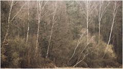 IIII // III (derkleinebiber) Tags: woods woodland woodlands forest forestlovers birches birch birken brandenburg märkischeschweiz naturpark