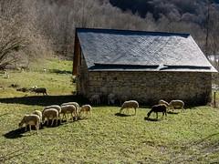 Sérac d'Ustou (Ariège) (PierreG_09) Tags: ariège pyrénées pirineos couserans montagne occitanie midipyrénées hiver grange étable brebis mouton troupeau