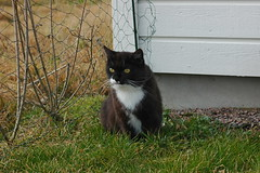 Watching the neighborhood... (vanstaffs) Tags: tussi tuzz tuxedocat t tux tusse tutu tuzz®