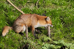 Foxes in Glasgow (jamiemcd17) Tags: fox red mammal wild wildlife nikon nature kelvin river riverkelvin