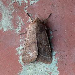 Common Quaker ... Orthosia cerasi (AndyorDij) Tags: andrewdejardin england empingham empinghammoths lepidoptera rutland uk moth insect commonquaker orthosiacerasi nationalmothweek noctuidae