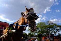 horse carriage in Izamal (zzzweber) Tags: horse caballo sombrero hat x100f sunlight animal carriage izamal mexico