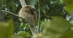 Sleepy sloth (pbertner) Tags: rainforest colombia southamerica behaviour midstory sloth mammal yotocoreserve