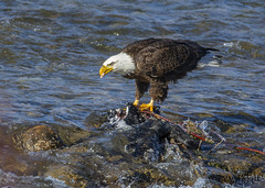 Bald eagle eating a fish (Pattys-photos) Tags: bald eagle eating fish idaho pattypickett4748gmailcom pattypickett