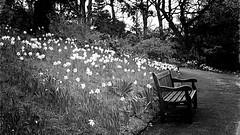 Daffodils (john29ch) Tags: flowers monochrome blackwhite bwphotography botanicalgardens birmingham bench daffodils spring bnw