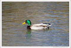 2019-03-13-40258--©-Gerard-MUSSOT (Gerard MUSSOT) Tags: deltedelebre oiseaux faune españa ebro reservenaturele