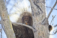Today's non-bird shot. This porcupine in a tree was a great subject. Utah, USA #porcupine #quill #mammal #utahphotographer (RickGrahamPhotography) Tags: porcupine quill mammal utahphotographer