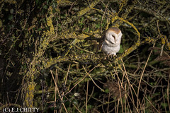 BARN OWL (edward.chitty) Tags: wildlife owls woods nikon d7200 200500mm birds