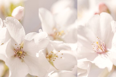 Cherry Blossoms (jeanne.marie.) Tags: yoshinocherrytree cherryblossoms tree floweringtrees spring springtime panels three triptych macro collage mosaic 100xthe2019edition 100x2019 image29100